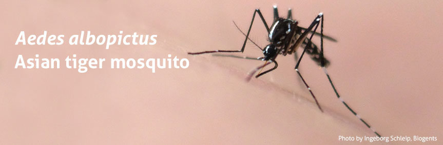 Adult lifespan of tiger mosquito