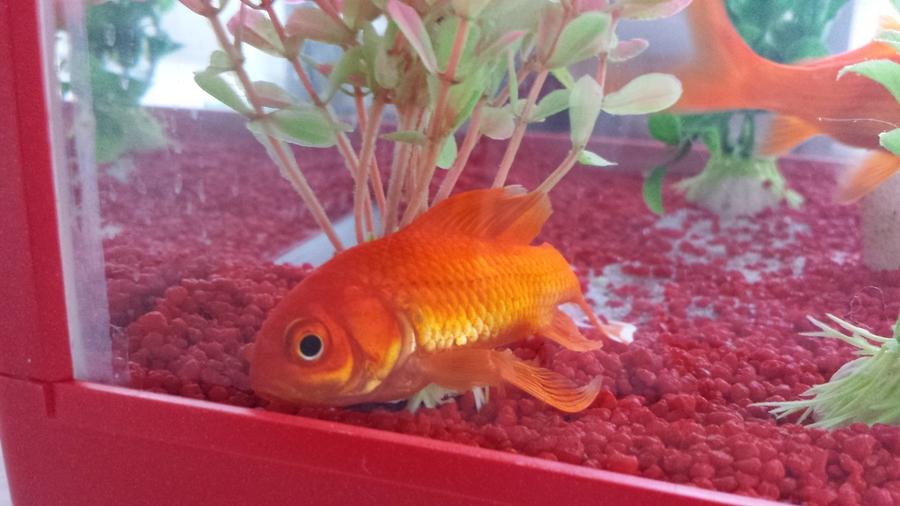 Fish at the bottom of tank