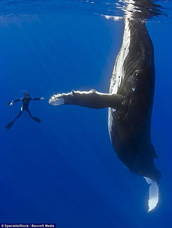 Humpback whale and man