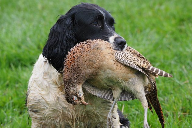 Spaniel anal glands english springer