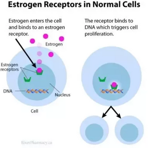 Estrogen receptor in breast