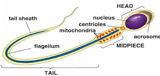 Function of a sperm cell