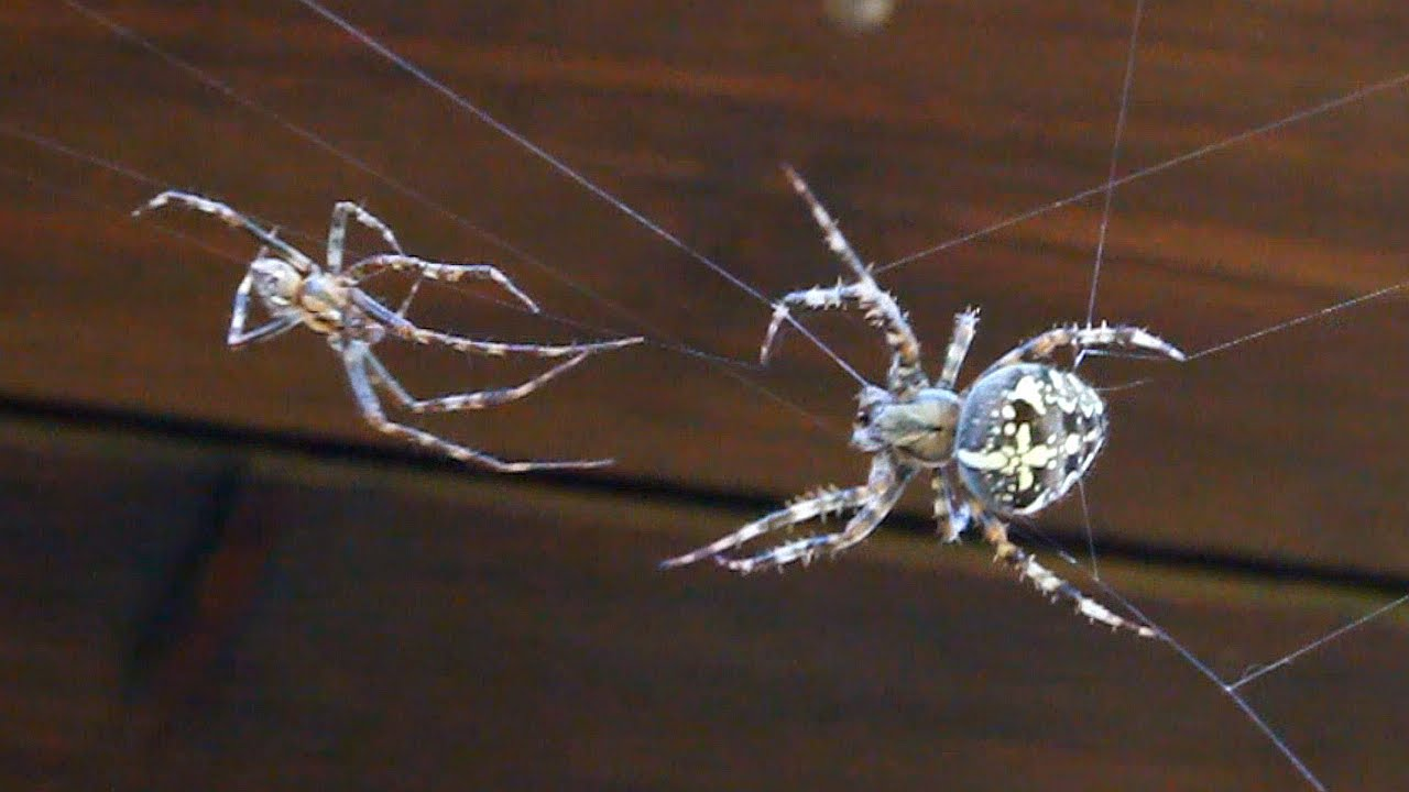 Girl a sex sperm spider com
