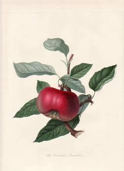 Print hooker the scarlet apple vintage
